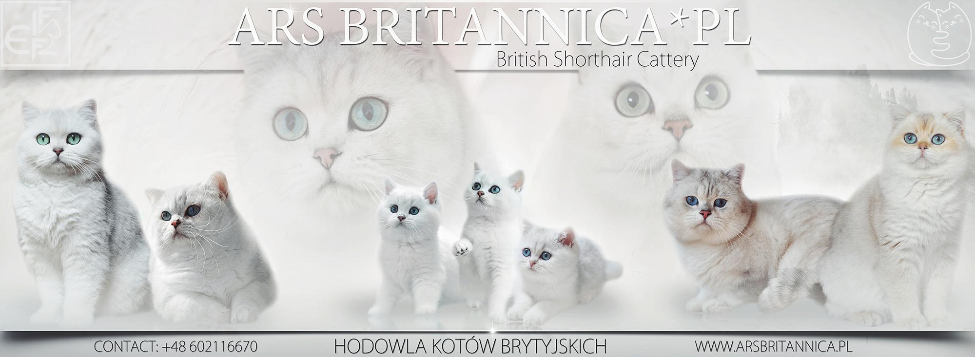 ARS BRITANNICA PL - HODOWLA KOTÓW BRYTYJSKICH
